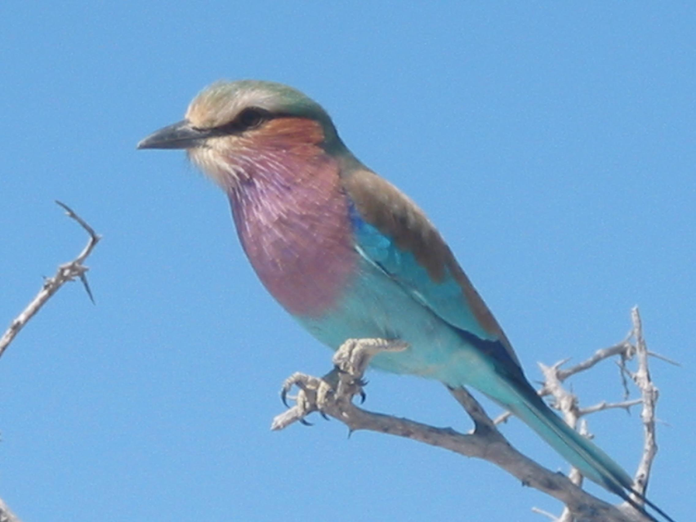 David Wetherell licac breasted roller