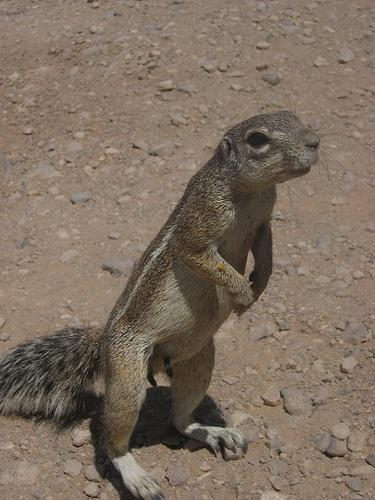 Ground Squirrel Richard Wilson