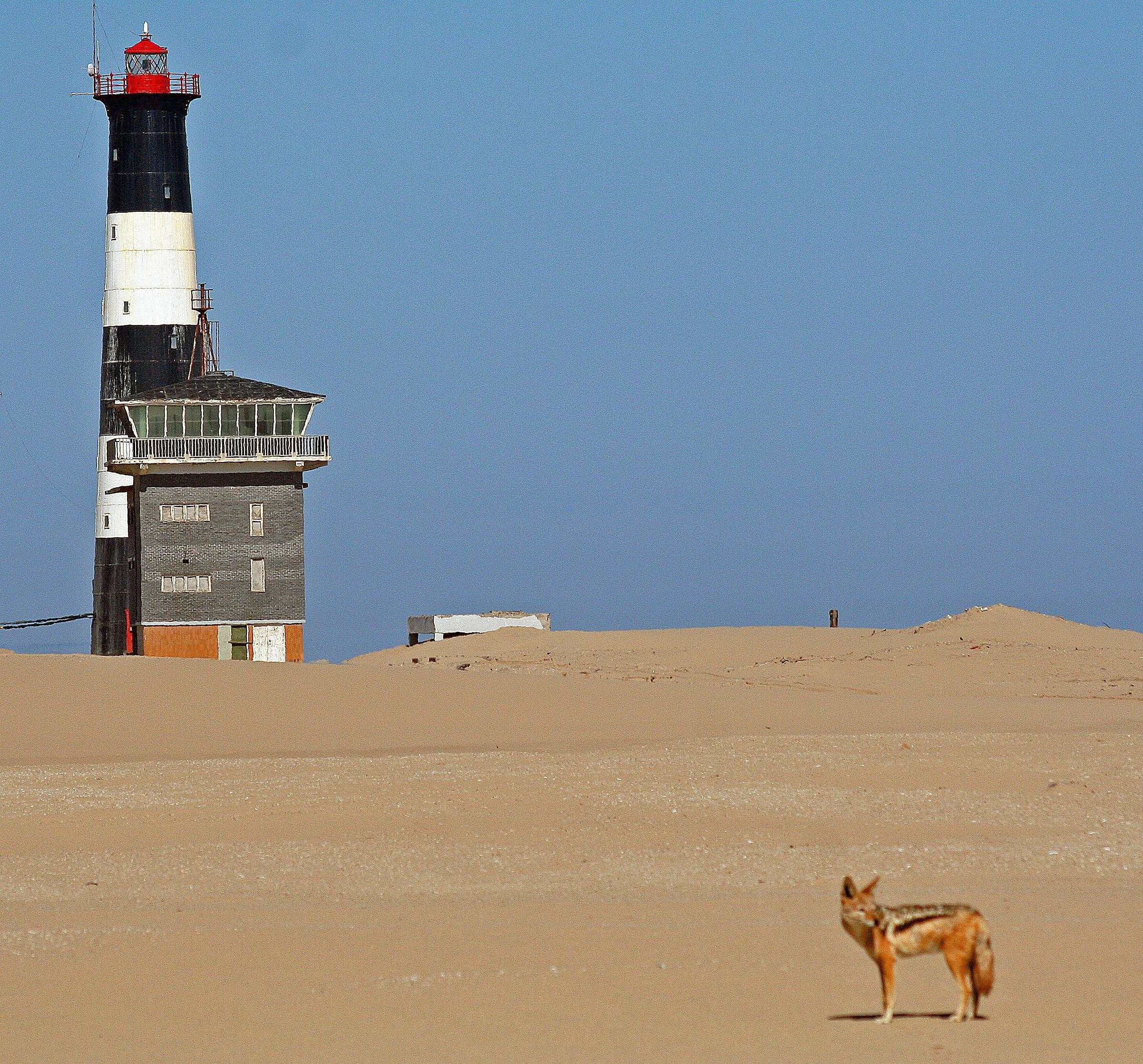 Jackal at Lighthouse on Pelican Point
