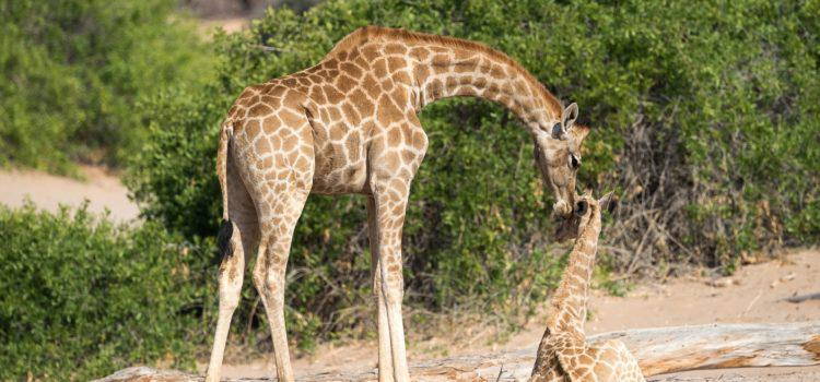 More about Giraffes – the forgotten MEGA-FAUNA