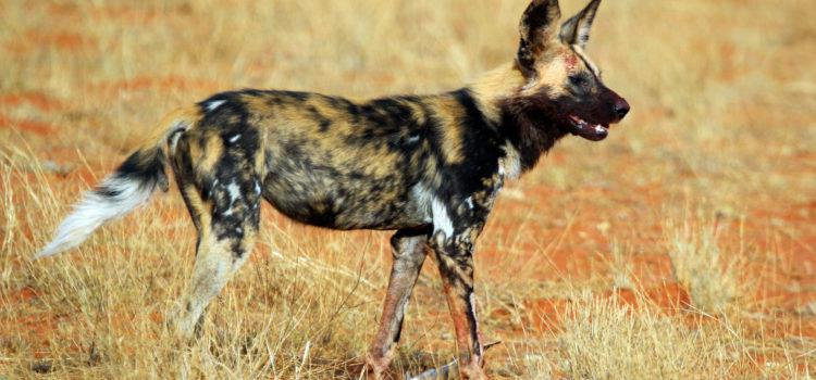 The Namibia African Wild Dog Project