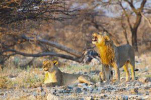 Lions in the Etosha National Park