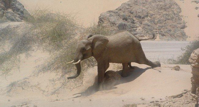 Namibia's Desert Adapted Elephants
